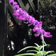 小紫とホトトギス