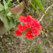 「おはようの花」 バーベナ 6月