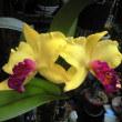 ゴールデンドラゴンが2度目の開花です