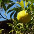 柚子黄ばむ
