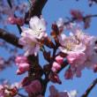 札幌にも桜の季節がやってきました~~♪