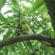 Prunus persica ❛Kyo Sarasa❜