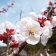 キウイの新芽が! 杏の花が咲きました。