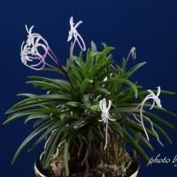 富貴蘭「紅鏡」の花