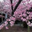 福津市 宮地嶽神社 sakura