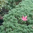 いよいよ紅葉も終盤です。うれしい種分けのお客様がお出でになりました。感謝