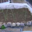 玉ねぎ栽培、育苗中の様子と畝作り