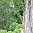 台湾五色鳥