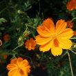 キバナコスモスが秋を感じさせてくれた日 yellow cosmos makes me feel autumn