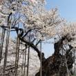 満開の神代桜