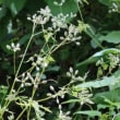 オヤブジラミ(セリ科・ヤブジラミ属)越年草