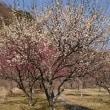 2月24日 松川湖湖畔 梅の花