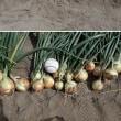 18年06月16日 タマネギ、ニンニクの収穫