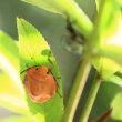 アカスジキンカメムシ、幼虫!