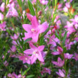 <サザンクロス> かわいい星形のピンクの花が人気