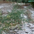 アスパラグス・アフィルス Asparagus aphyllus