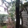 柿の木を伐採