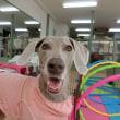 明日は【わんこ整体day】  犬のしつけ教室@アロハドギー