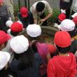 2018年4月17日 瑞穂小学校のハスの植替えを行いました