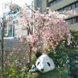 3月29日(木)シャンシャン