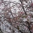 季節外れの桜、、、これが秋桜か、、、、。