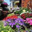ミノチルの庭  最盛期の花たち