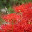 彼岸花と揚羽蝶
