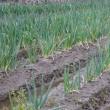 ネギの収穫が最盛期に