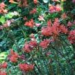 彼岸花科の花からキツネのカミソリ
