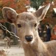奈良公園装う
