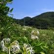 延岡市・安井海岸に咲く 夏の花 コオニユリや ハマユウなど ~ 海の日は海へ(2)