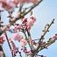 3月2日(金)晴れ、今日午前中、大倉山公園梅林で梅花を観て撮り歩き印象です。