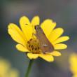 キクイモモドキ(花)にセセリチョウ(蝶)