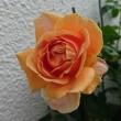 雨の後の朝に、とっても美しいロイヤルサンセット(二番花)が咲いています