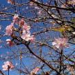 狂い咲き(返り咲き)のイジュの花