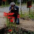 今年も咲きました秋の花・松山市窪野町北谷の彼岸花群生地