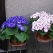 季節の花「サイネリア」