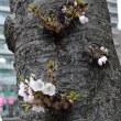 3.19  「染井吉野」発祥の地 駒込 : 桜開花しました
