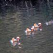 12/11探鳥記録写真(頓田貯水池の鳥たち:ホオジロガモ、オシドリ)