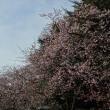 「寒桜」/新宿御苑