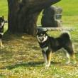 黒柴かんべえ と 妹犬さくらちゃん と花見