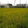 稲刈りしました。