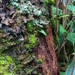 ミッション 苔ごと脱落した着生植物を救出せよ!  平成30年7月初旬