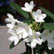 「おはようの花」  マダガスカルジャスミン07-31