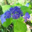 いよいよ紫陽花