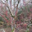 あんず、杏の蕾もふくらんできた。 県立三木山森林公園