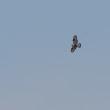 遠く空高く飛んでいた、ケアシノスリ。
