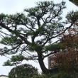 ヒイラギ(柊) 2種 と 松 と 門