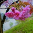 八重桜が咲き初め。ボケ。