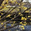 早咲きの桜・山茱萸